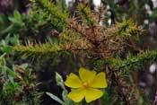 El Espino Amarillo y nuestra piel