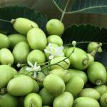 Aceite de Neem como insecticida