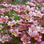 Tipos de Flores de Bach