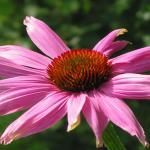 Echinacea para las infecciones