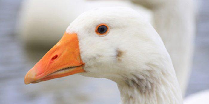 ¿Sabemos realmente que es el foie gras?