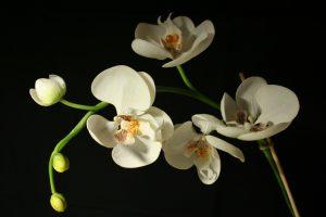 Esencias de Orquídeas