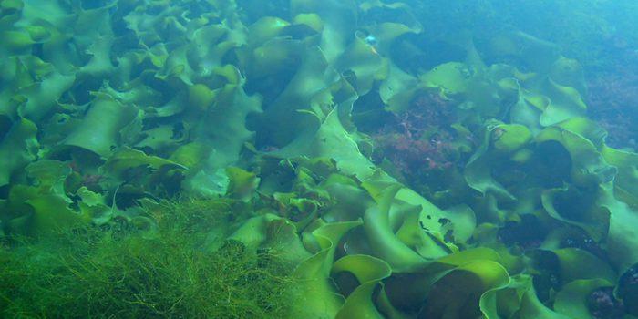 ¿Cómo utilizar las algas para adelgazar?
