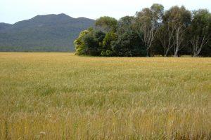 El germen de trigo tu aliado del antienvejecimiento