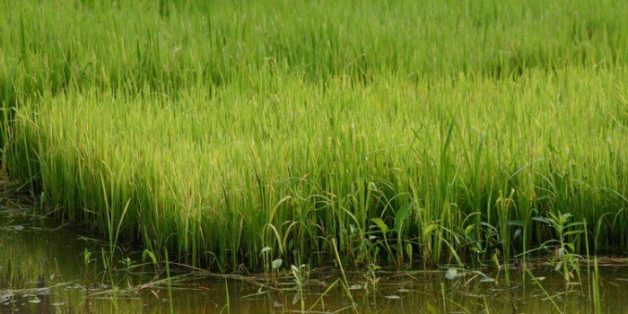 Propiedades del arroz