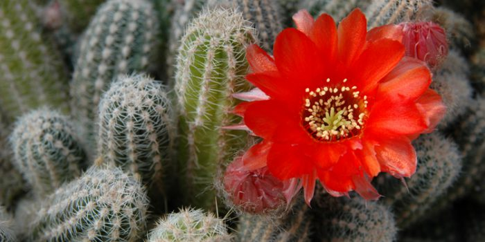 Esencias de Cactus
