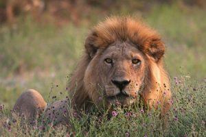 El León, la fuerza del corazón
