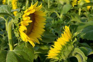 Ácido linoleico, beneficios y fuentes naturales