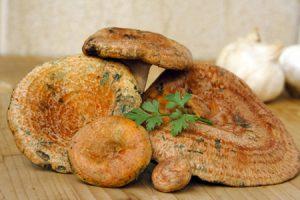 Rovellones o Níscalos, propiedades y usos culinarios