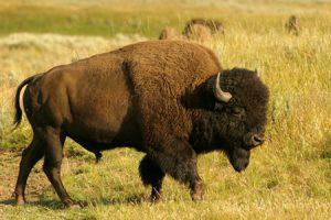 El Bisonte, símbolo de totalidad y abundancia