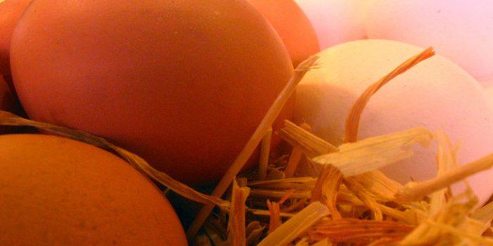 Ventajas e inconvenientes de darles huevos crudos a las mascotas