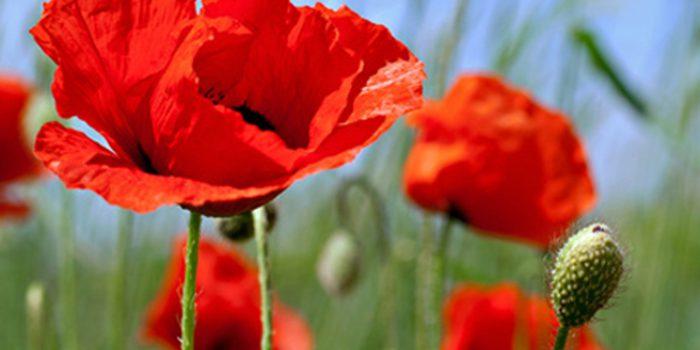 Propiedades y aplicaciones de las semillas de amapola