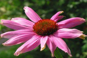 ¿Por qué la Echinacea para las infecciones?