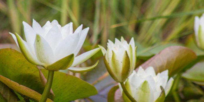 Beneficios y propiedades de la flor de loto