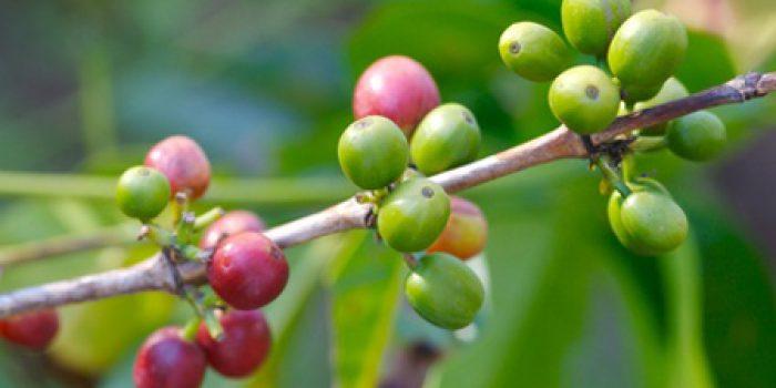 Extracto de café verde, ¿ayuda a perder peso?