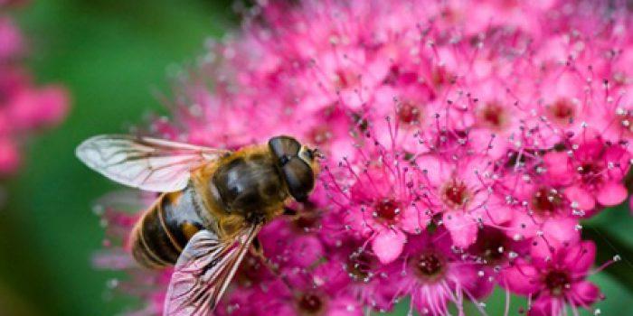 ¿Por que las abejas están desapareciendo?