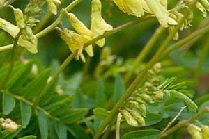 ¿Cuáles son las propiedades del Astragalus?