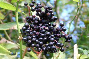 Bayas de saúco, propiedades medicinales