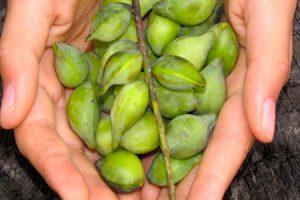 La ciruela Kakadu, riquísima en vitamina C
