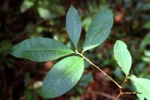 Beneficios y propiedades de la hoja de coca