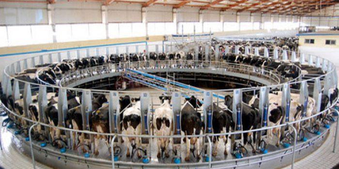 Explotación de vacas lecheras, ¿cómo viven?