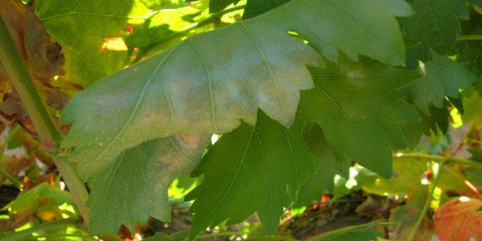 Sales de Cobre, remedio para el Mildiu y otras plagas