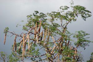 Qué es y cuales son las propiedades de la Moringa
