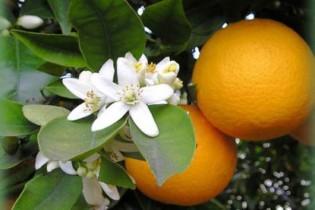 naranjos-en-flor