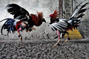 Peleas de gallos, ¿un deporte?
