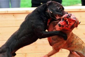 Peleas de perros, ¿hasta cuando?