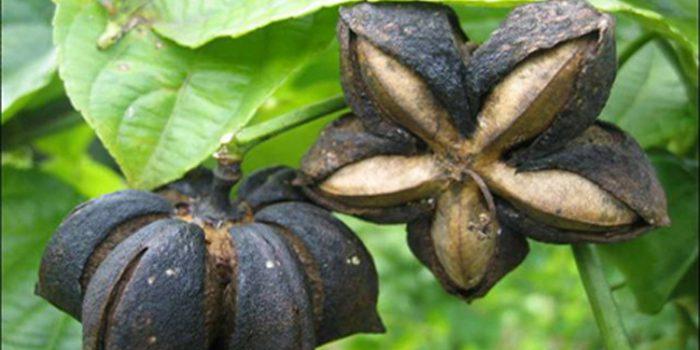 Aceite de Sacha Inchi, un regalo Amazónico
