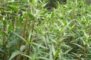 Propiedades del Ginseng Brasileño o Suma