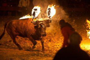 Vacas y toros embolados: una triste fiesta