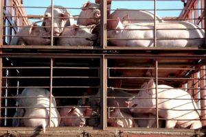 transporte-de-cerdos