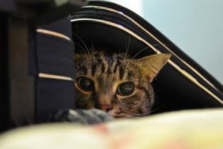 viajar-con-gatos