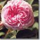 Rosa Reina de Dinamarca