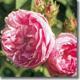 Rosa de la Provenza
