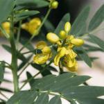 Beneficios del Sen o Cassia