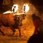 Vacas y toros embolados