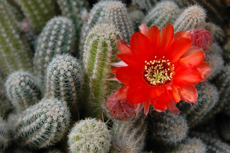 Esencias de cactus for Piante grasse da esterno con fiori