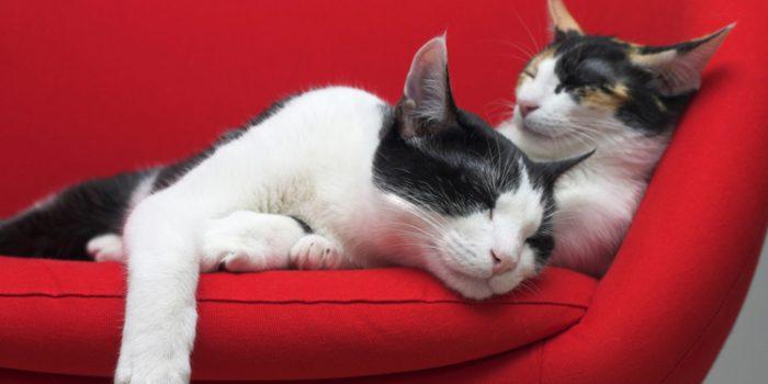 Por qué ronronean los gatos