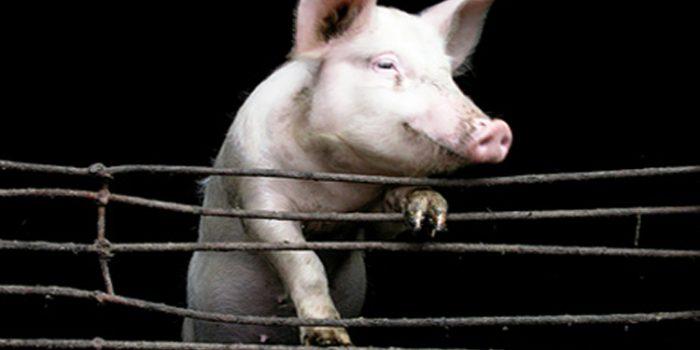 Granjas de cerdos, condiciones de vida miserables