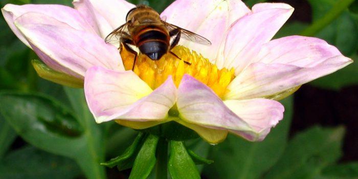 El polen, de la flor a la colmena