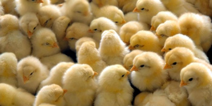 Explotación intensiva de animales ¿Ha sido siempre así?