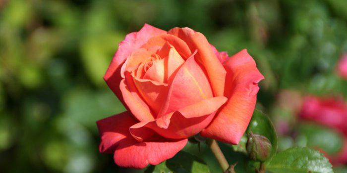 Usos y propiedades del agua de rosas