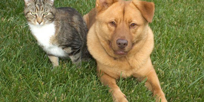 Cómo eliminar las pulgas de perros y gatos
