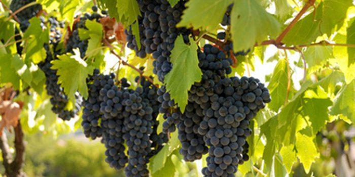 Aceite de semillas de uva, propiedades