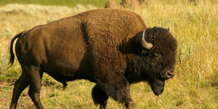 Simbolismo del Bisonte: totalidad y abundancia