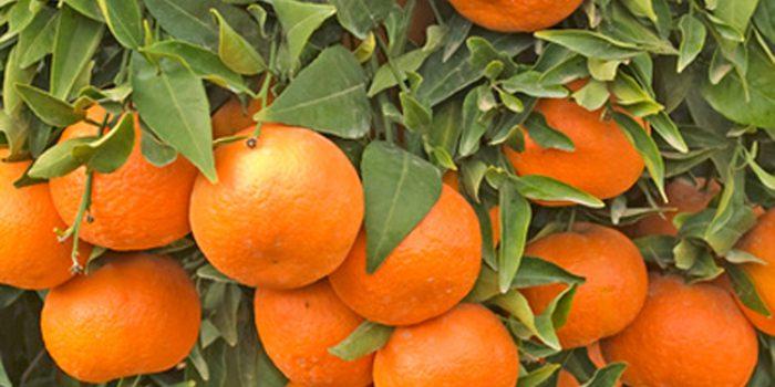 ¿Ya conoces las muchas propiedades de la mandarina?