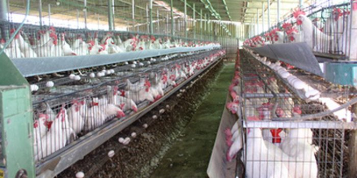 Granjas de gallinas ponedoras, la rentabilidad es lo primero